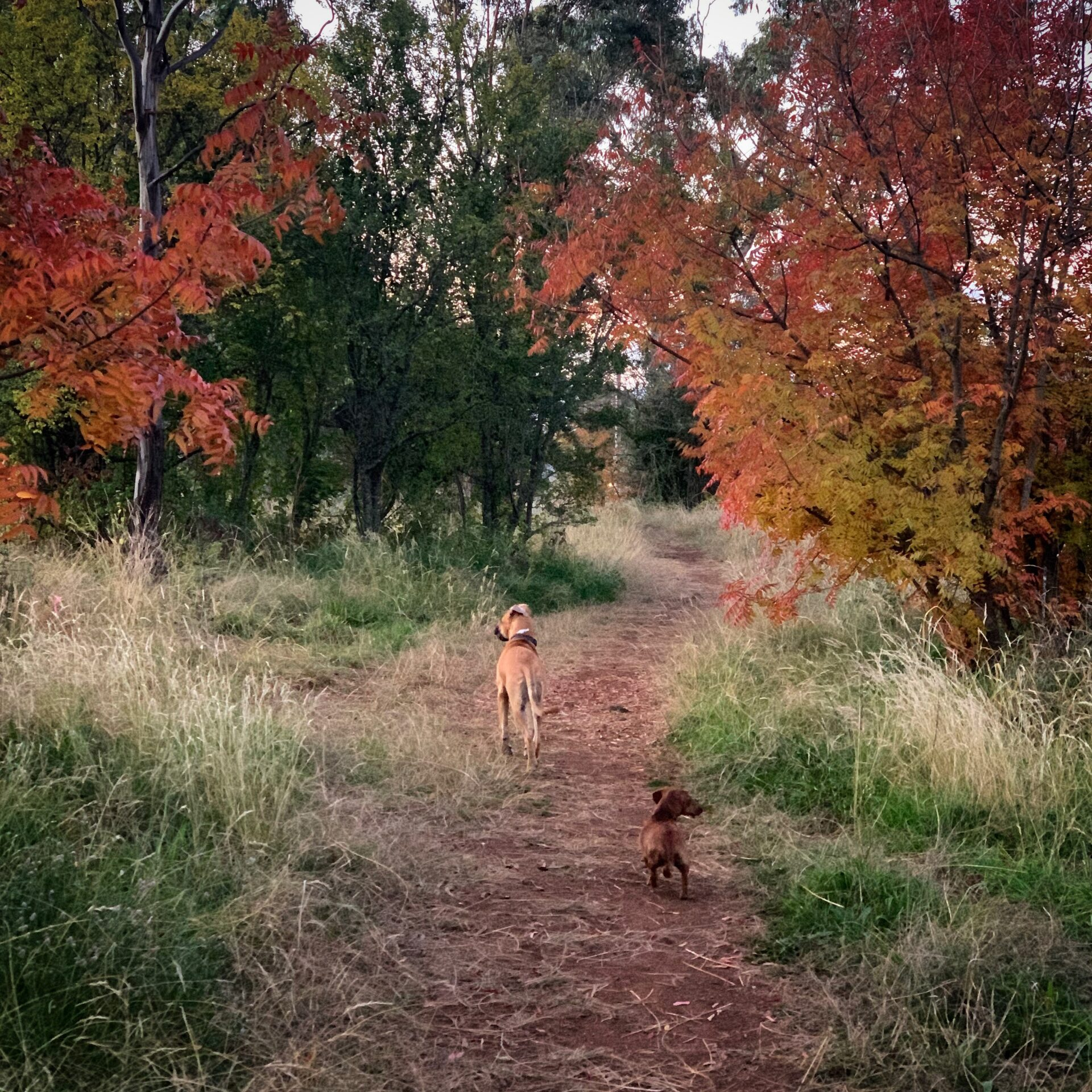 Kirsti Abbott's dogs walking down a path surrounded by autumn leaves