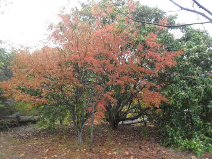 Loquat Tree at the Golden Elm Flat