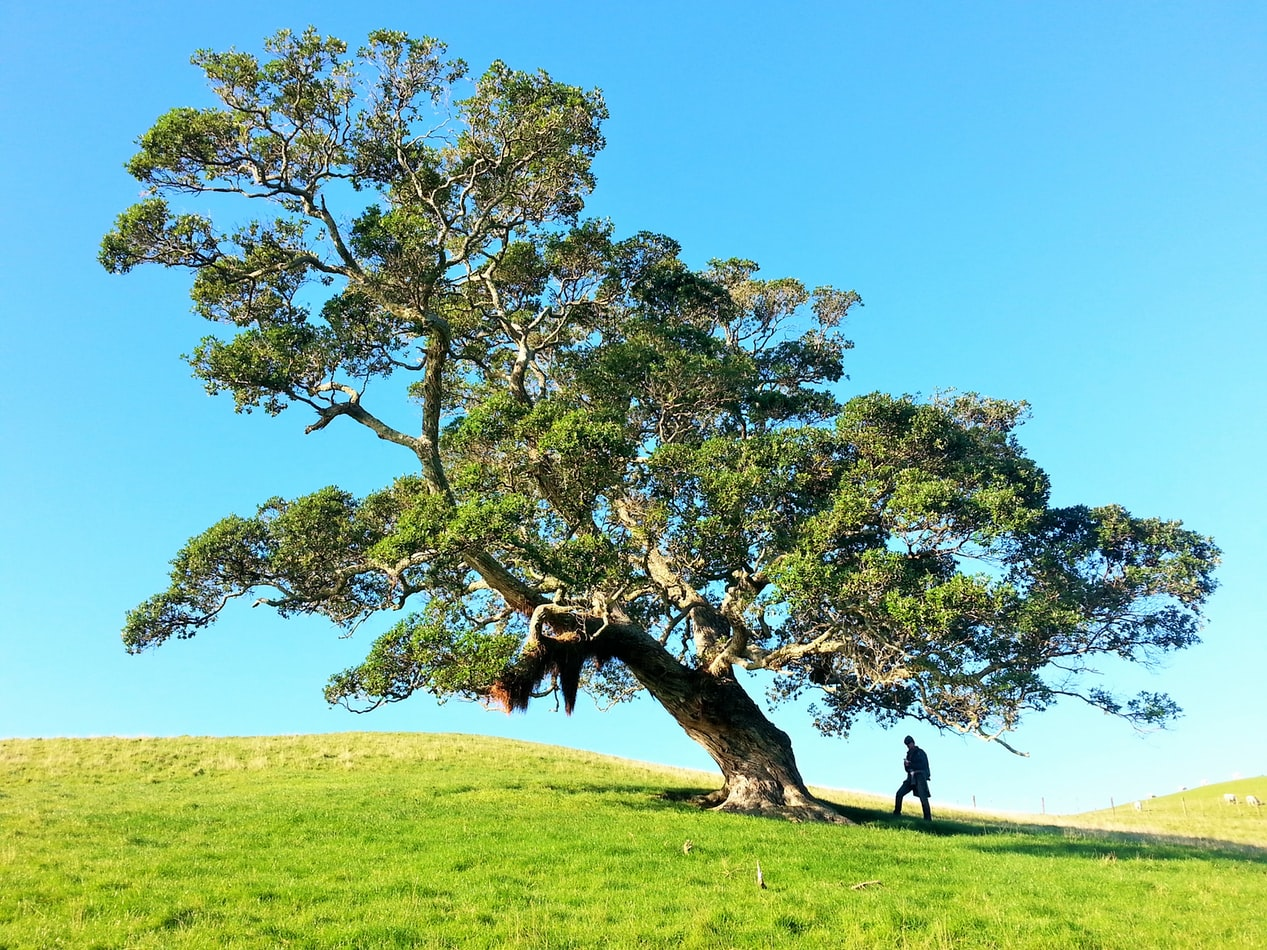 A gnarled tree on a green, grassy hill. The sky is bright blue and a person is standing under the tree.
