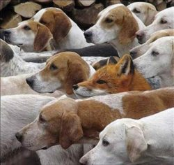 a fox hiding amongst dogs